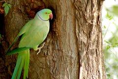 indisk papegoja Arkivbild