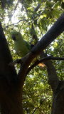 Indisk papegoja i trädbild Arkivfoton
