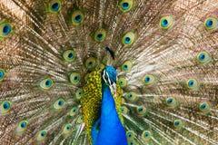 indisk peafowl Royaltyfri Bild