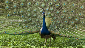 Indisk peafowl eller den indiska påfågeln arkivfoton