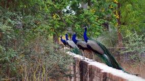 Indisk peafowl eller den indiska påfågeln royaltyfri fotografi