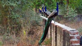Indisk peafowl eller den indiska påfågeln royaltyfria foton