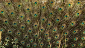 Indisk peafowl eller den indiska påfågeln royaltyfri foto