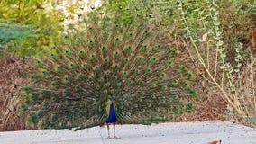 Indisk peafowl eller den indiska påfågeln Royaltyfria Bilder