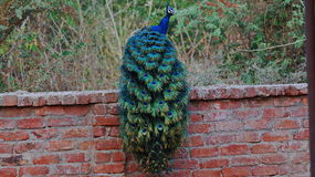 Indisk peafowl eller den indiska påfågeln arkivfoto