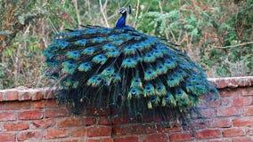 Indisk peafowl eller den indiska påfågeln fotografering för bildbyråer