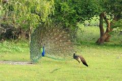 Indisk Peafowl, pavocristatus Mannen en påfågel, uppvaktar till en kvinnlig, påfågelshöna Arkivbild