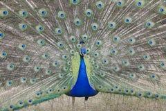 Indisk PeafowlPavocristatus (asiat) med svansfjädrar som visas i kurtisritual Royaltyfria Foton