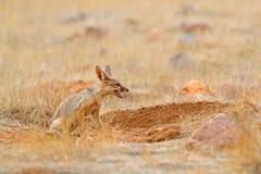 Indisk räv, Bengal räv, Vulpesbengalensis, Ranthambore nationalpark, Indien Löst djur i naturlivsmiljö Near redejordning för räv arkivbild