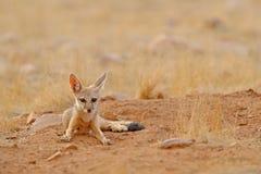 Indisk räv, Vulpesbengalensis, Ranthambore nationalpark, Indien Löst djur i naturlivsmiljö Hål för near rede för räv jord Wildli royaltyfri bild