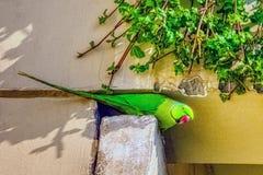 Indisk ros-ringed parakiter /Psittacula, också som är bekant som denhånglade parakiter arkivbilder
