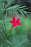 Indisk rosa färgblomma Royaltyfri Fotografi