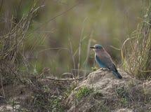 Indisk rullfågel Arkivbild