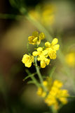 Indisk senapsgultt blomma Arkivfoto