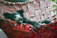 Indisk sengångarebjörn Royaltyfria Bilder
