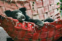 Indisk sengångarebjörn i röd hängmatta Arkivfoto