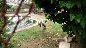 Indisk stork Fotografering för Bildbyråer