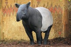 indisk tapir Royaltyfri Foto