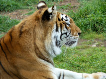 Indisk tiger (kvinnlig) 15 gamla år Royaltyfri Fotografi