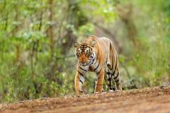 Indisk tigerkvinnlig med första regn, löst djur i naturlivsmiljön, Ranthambore, Indien Stor katt, utsatt för fara djur Slut av to royaltyfri fotografi