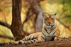 Indisk tigerkvinnlig med första regn, löst djur i naturlivsmiljön, Ranthambore, Indien Stor katt, utsatt för fara djur Slut av to Royaltyfri Bild