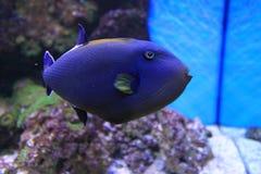 Indisk triggerfish Arkivfoto