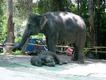 indiska elefanter Arkivbild