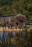 indiska elefanter Arkivbilder