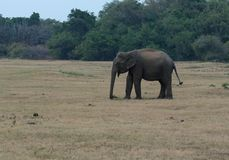 Indiska elefanter i den Kaudulla nationalparken Royaltyfria Bilder