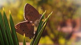 Indiska förälskade kupidonfjärilar Arkivbilder