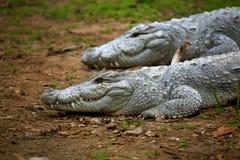 Indiska gharial krokodiler Arkivfoto