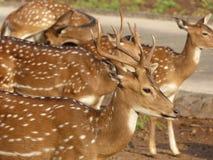 Indiska hjortar Fotografering för Bildbyråer