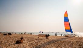 Indiska kor som kopplar av på Calangute, sätter på land, norr Goa, Indien royaltyfria foton