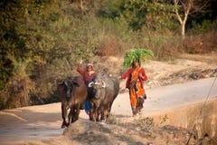 Indiska kvinnor med husdjur på vägen Arkivfoton