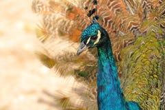Indiska peafowls stående Fotografering för Bildbyråer
