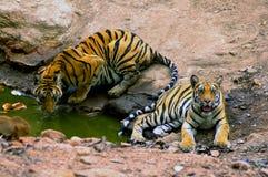 indiska tigrar Arkivbild