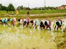 Indiskt gräs för ris för bykvinnaväxt royaltyfri foto