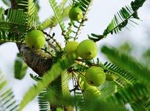 Indiskt krusbär, Phyllanthus Emblica Fotografering för Bildbyråer