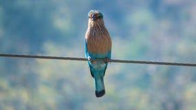Indiskt rullfågelsammanträde på elektricitetskabel i morgonljus Royaltyfria Foton