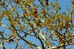 Indiskt spöketräd Arkivfoto