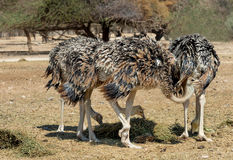 Indivíduos novos da avestruz africana (camelus do Struthio) Foto de Stock
