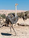 Indivíduos novos da avestruz africana (camelus do Struthio) Imagem de Stock