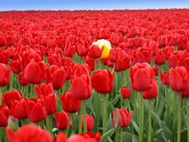 Individual. One Yellow tulip in a sea of thousands of red tulips stock image