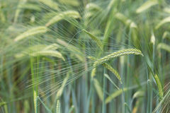 Individual barley in a field detail Royalty Free Stock Photo