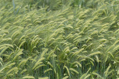 Individual barley in a field detail Stock Photography