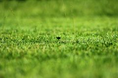 Individual blades of grass on a mowed lawn with. A blurred background royalty free stock image