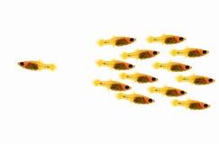 Individual Fish Success Winner Outsider Boss Royalty Free Stock Image