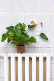 Individual heating concept. Flower on radiator royalty free stock photo