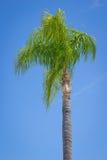 Individual Palm Tree Stock Image