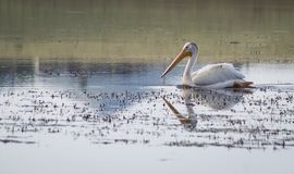 Pelican on lake Stock Photography